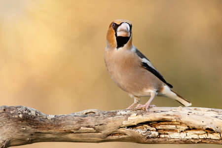 Hawfinch is sitting on a branch on a beautiful Sunny background. Coccothraustes coccothraustes.