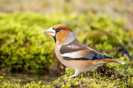 Hawfinch Coccothraustes coccothraustes close up. Stands on a beautiful background.