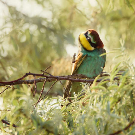 European bee-eater Merops Apiaster in natural habitat preening sitting on a stick. Banque d'images