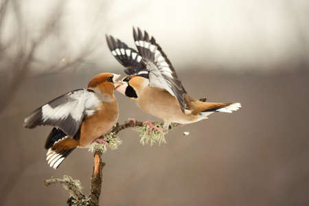 Hawfinch Coccothraustes coccothraustes. Two birds fight in the forest. Banque d'images