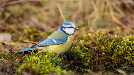 Blue tit Cyanistes caeruleus, sitting in the grass. Banque d'images