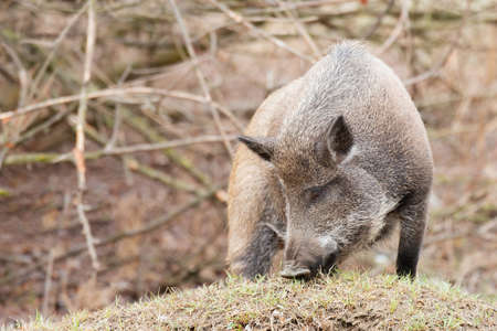 A Wild boar in forest. Sus scrofa.