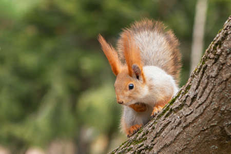 A red squirrel sits on a tree and looks down. Sciurus vulgaris.