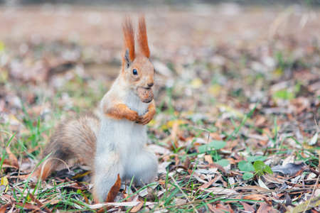 A red squirrel stands with a nut in its mouth. Sciurus vulgaris.