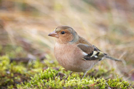Chaffinch Fringilla coelebs in a beautiful light. Banque d'images