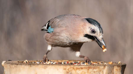 Eurasian Jay Garrulus glandarius on the bird feeder eating nuts close up.