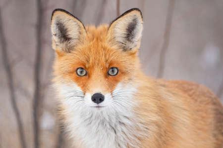 Red fox Vulpes vulpes in a winter landscape.
