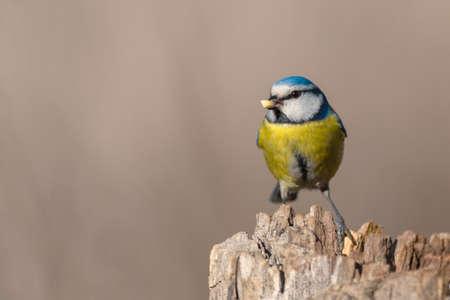 Blue tit Cyanistes caeruleus with peanuts in its beak. Beautiful background.