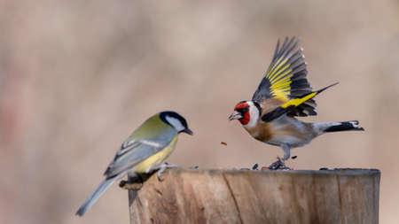 goldfinch, carduelis carduelis on the bird feeder.
