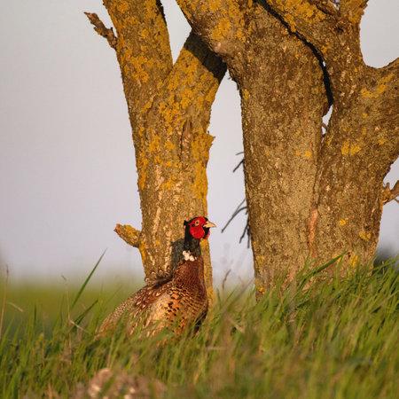 Ringnecked pheasant male, Phasianus colchicus. Stockfoto