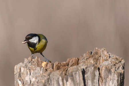Colorful great tit Parus major perched on a tree trunk. with a seed in its beak.
