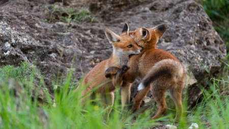 Two cute young foxes. Vulpes vulpes.