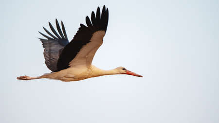 Bird flight of a white stork against the sky, Ciconia ciconia.