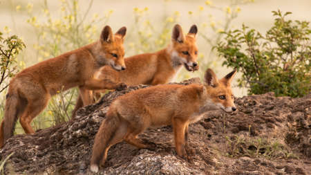 Three little red foxes. Vulpes vulpes. Stockfoto