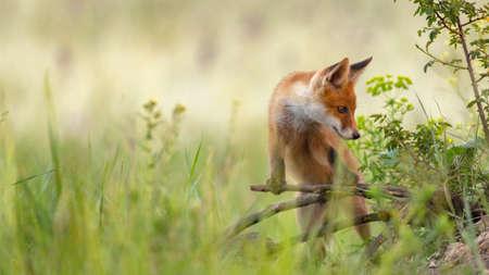 Red young fox cub. Vulpes vulpes.