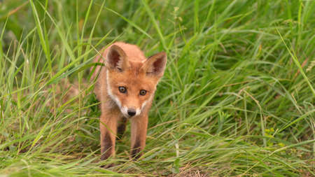 A young red fox stands in the grass. Vulpes vulpes. Stockfoto