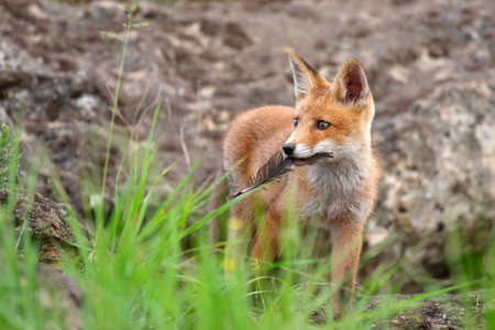 A young red fox with a feather in her teeth. Vulpes vulpes.