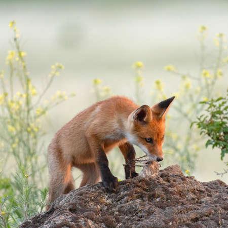 Cute young fox cub near the burrow. Vulpes vulpes. Stockfoto
