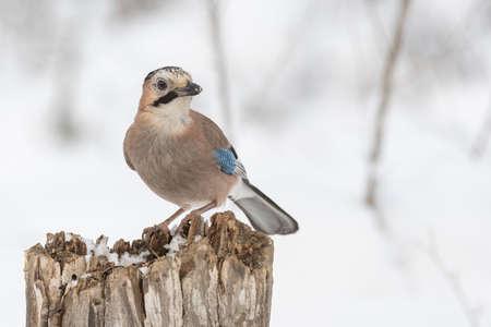 Eurasian Jay Garrulus glandarius. A bird sits on a stump in a winter forest