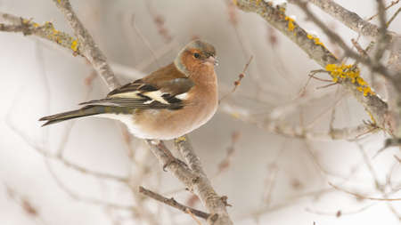 Chaffinch, Fringilla coelebs sits on a tree branch in a winter forest.