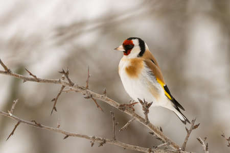 Goldfinch Carduelis carduelis, sitting on a branch. Stockfoto