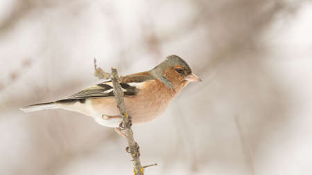 Chaffinch, Fringilla coelebs sitting on a branch in the winter forest. Stockfoto