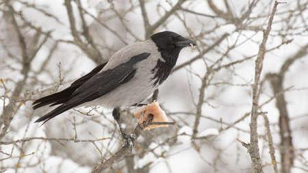 Hooded Crow Corvus cornix in the winter forest. 版權商用圖片