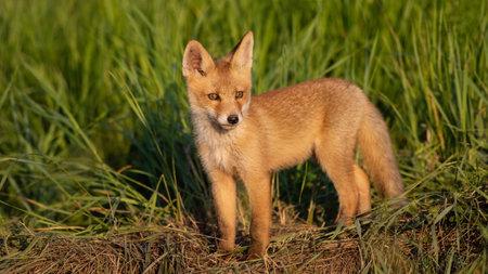 Cute young fox cub. Vulpes vulpes. Stockfoto