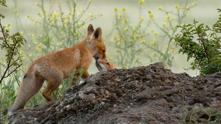 Two cute young foxes. Vulpes vulpes. In the wild.