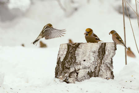 Wintering birds in a snowy forest. flying birds.