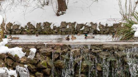 Wild ducks in park lake in winter.