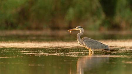 Gray Heron in the habitat catches fish. Ardea cinerea.