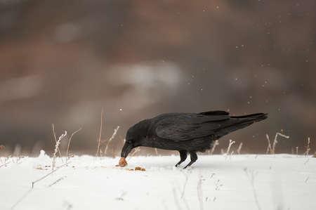 Birds Common Raven Corvus corax in winter time.
