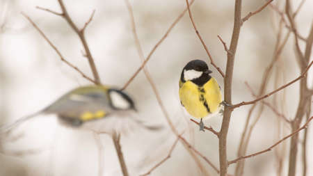 Great tit Parus major sits on a tree branch in a winter forest ..