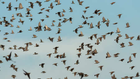 A flock of starling birds in flight against the sky.