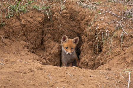 Young Red Fox looks out of his burrows. Vulpes vulpes. Stockfoto