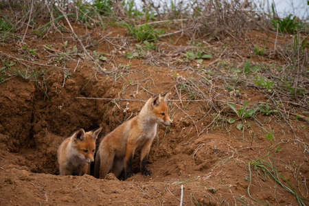 Two young red Fox near his hole. Vulpes vulpes close up.