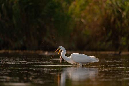 White heron fishing in the lake. Ardea alba.