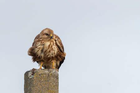 Bird Common buzzard sits on a post. Buteo buteo. Stockfoto