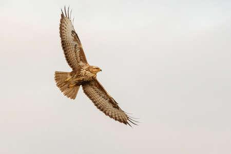 Bird Common buzzard with open wings in flight. Buteo buteo.