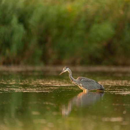 Gray Heron in the habitat. Ardea cinerea.