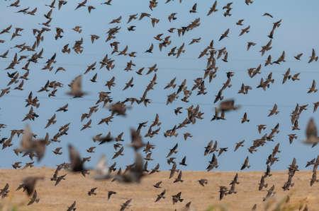 Many starling birds in flight against the sky. Stockfoto