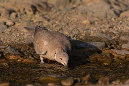 Cape turtle dove, Streptopelia capicola, drinking water. 版權商用圖片