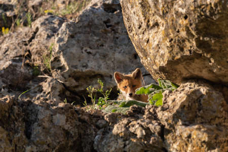 Young Red Fox looks out of his burrows. Vulpes vulpes. Stock Photo
