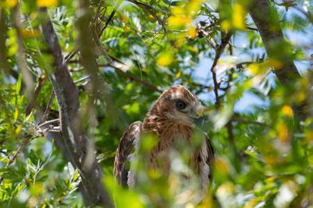 Long-legged Buzzard Buteo rufinus. Baby bird in the nest.