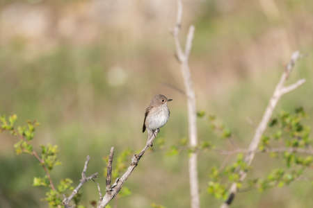 Spotted flycatcher Muscicapa striata in natural habitat. Stock Photo