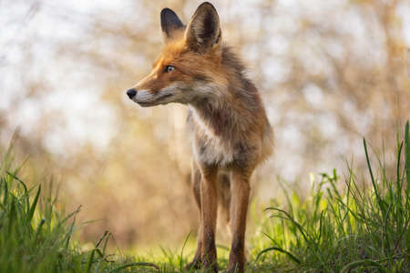 Portrait of a red fox Vulpes vulpes in the wild. Stock Photo
