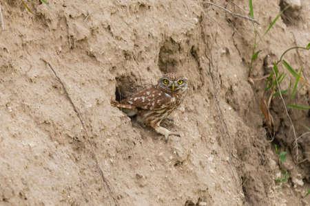 Little owl in natural habitat. Athene noctua.
