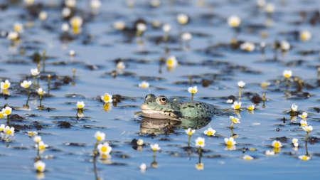 European Marsh Frog Pelophylax ridibundus. In the wild.