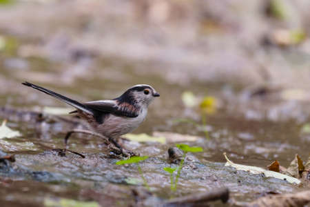 Long-tailed Tits Aegithalos caudatus in the wild. Stock Photo